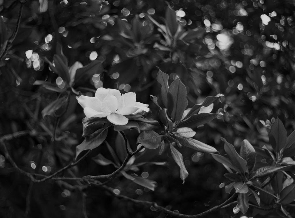 Магнолия цветет...