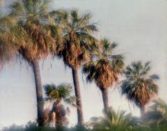 Пальмы финиковые. Абхазия.